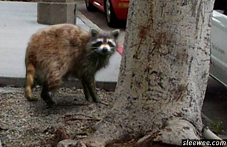 Sick animal that might be dangerous with rabies or in distress. This racoon seen during the day is not sick and does not have rabies, but should be avoided.