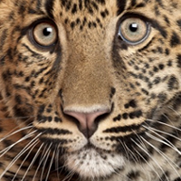 Were leopards at one time spotless?