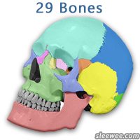 The total number of bones in the human skull