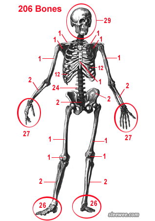 Picture showing the number of bones in the full-grown human body. Infants have over 270.