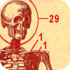 Total number of bones in the human body
